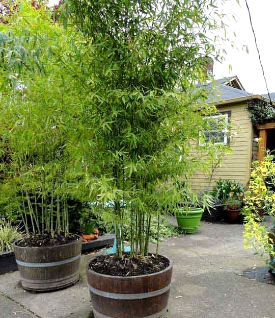 Use Wine Barrels as Planters for Tall Plants