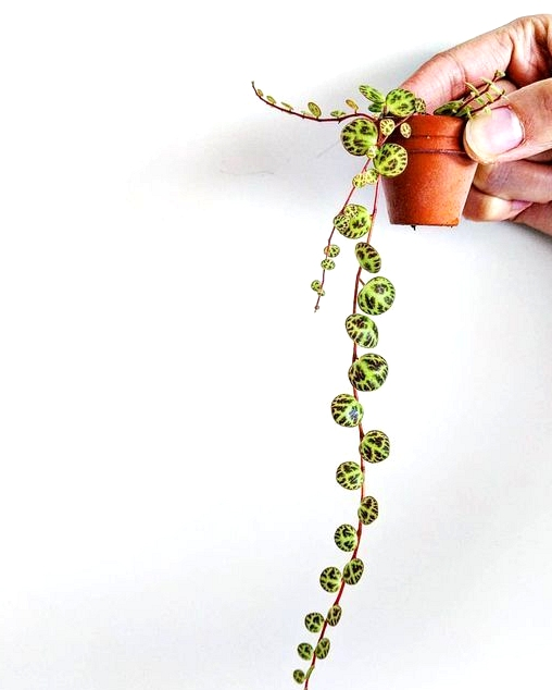 String of turtles aka Peperomia Prostrata, makes for an adorable indoor hanging plant