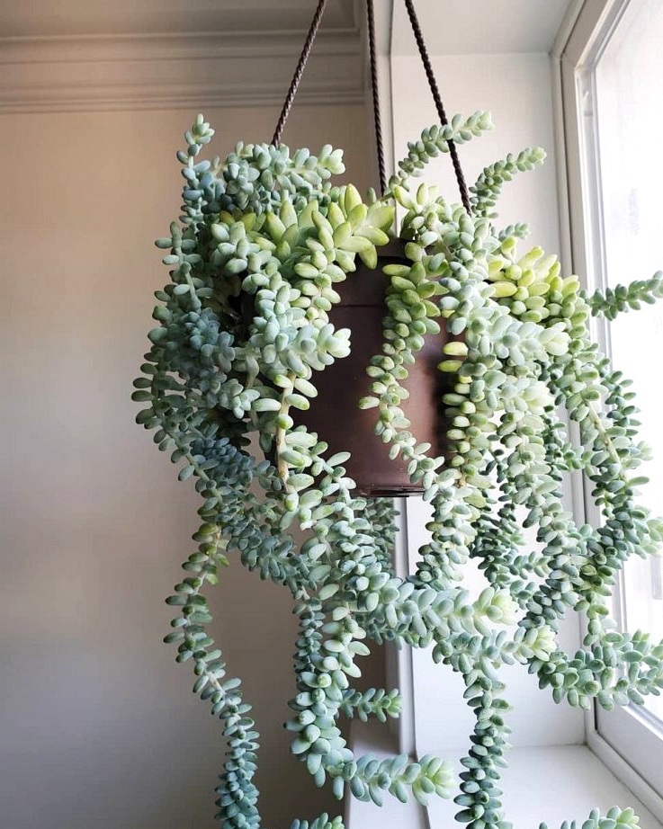 Burro's tail succulent is a great plant to hang in front of a window.
