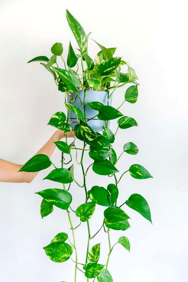 Pothos plant, or devils ivy is another great indoor hanging plant with long vines and big green leaves.