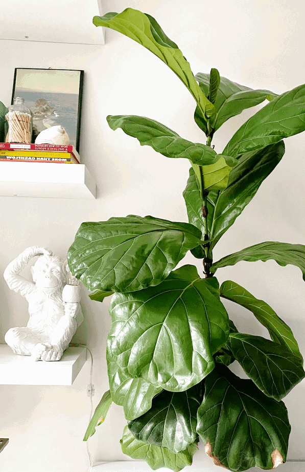 This ultimate fiddle leaf fig tree care guide will help you grow your plant just like this one!