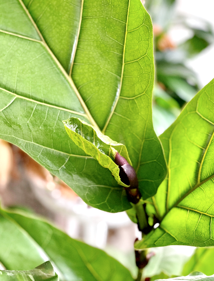 Follow this ultimate fig tree care guide to ensure your plant grows new leaves like this one!