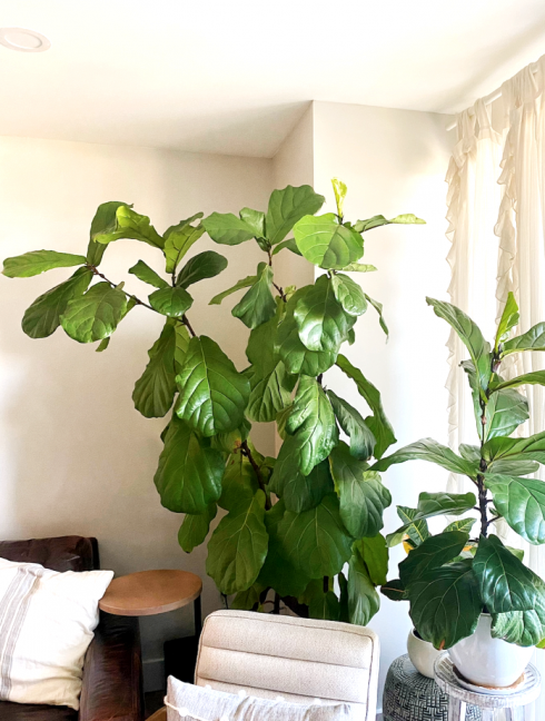 The Ultimate Fiddle Leaf Fig Tree Care Guide