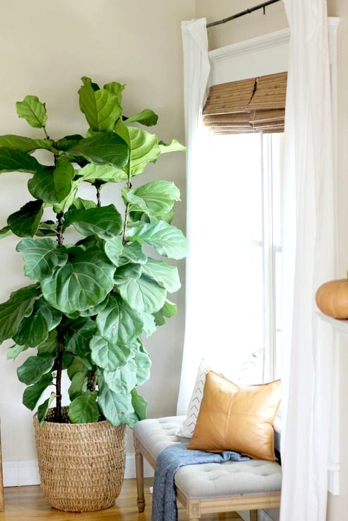 Step by step guide on how to propagate your fiddle leaf fig tree.