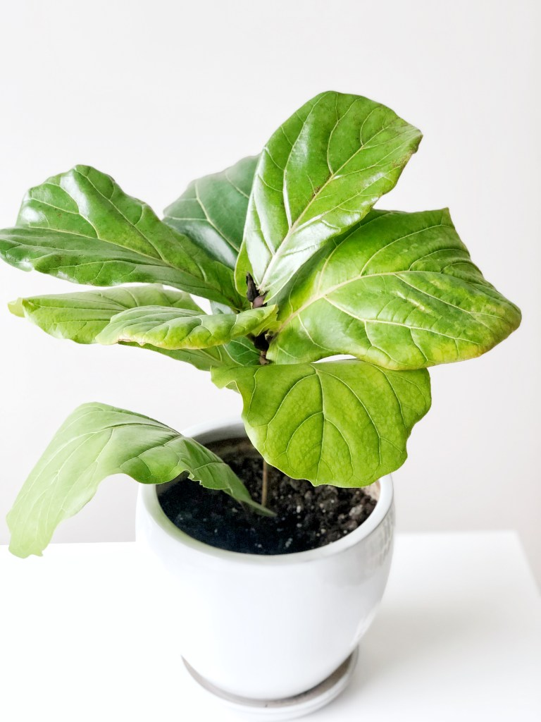 Step by step tutorial on propagating your fig tree