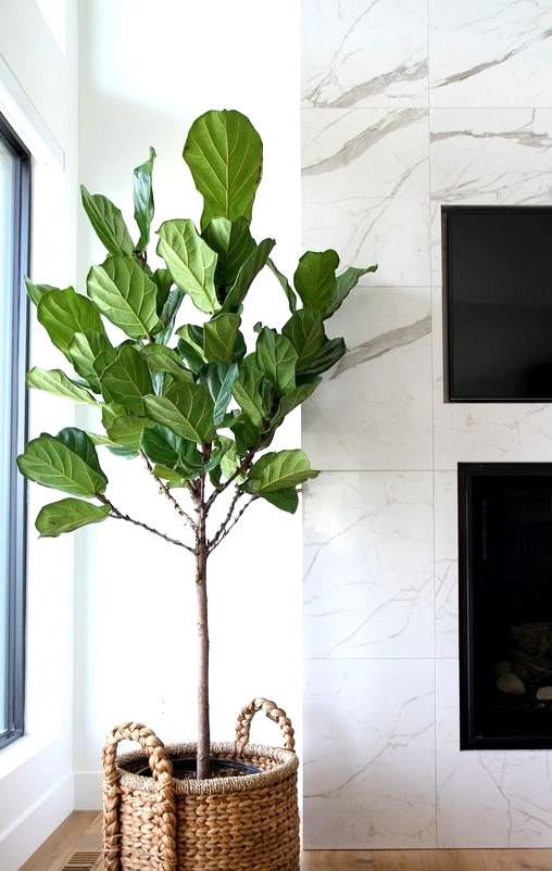How to propagate your fiddle leaf fig tree.