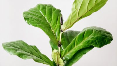 How To Propagate Your Fiddle Leaf Fig Tree