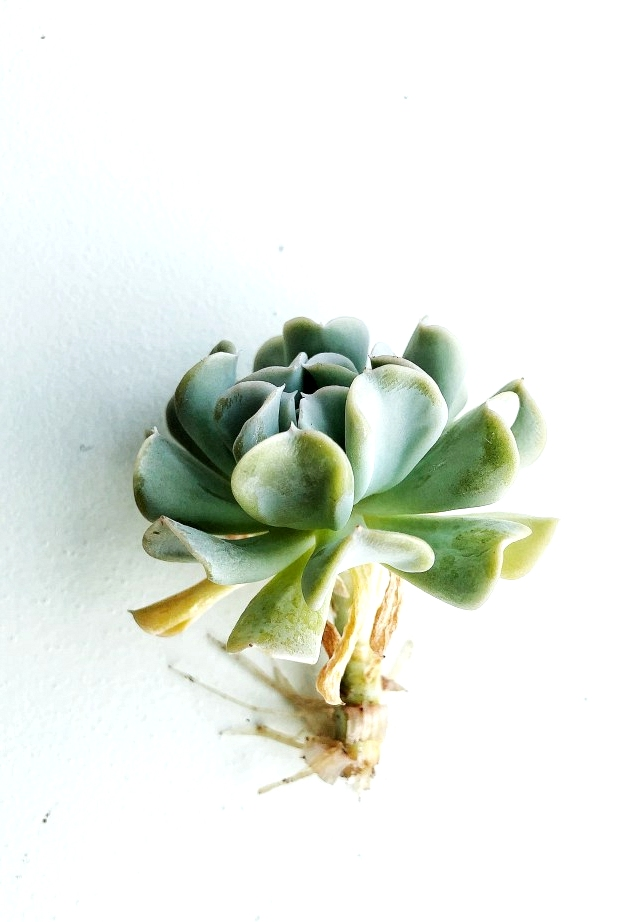 After just two weeks your succulent will start growing roots in water