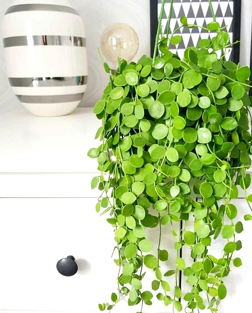 String of nickels plant displayed on a shelf.