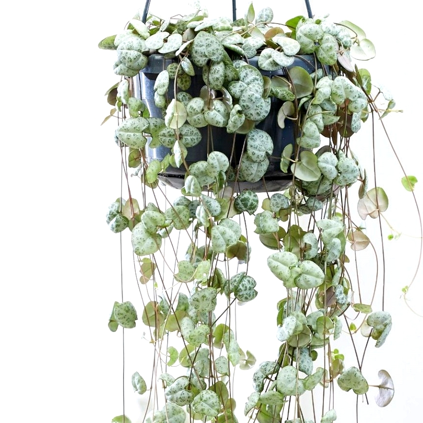 String of hearts trailing plant