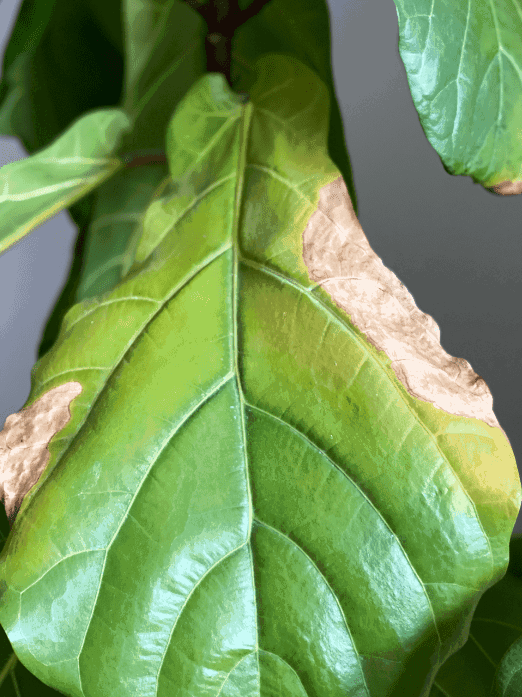 Light brown spots on the edge of the fiddle leaf fig leaf indicate under watering
