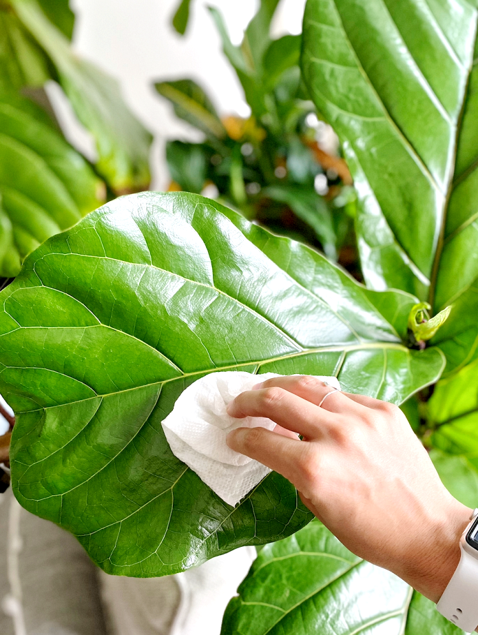 Dusting a fiddle leaf fig tree regularly is key for optimal plant health.