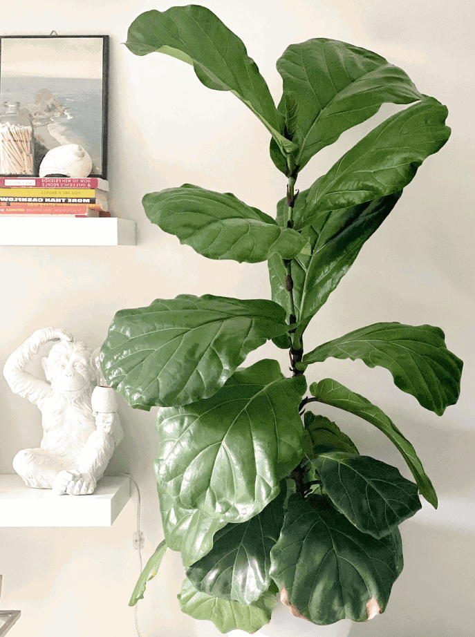 The best tips for growing your fig tree fast like I did.