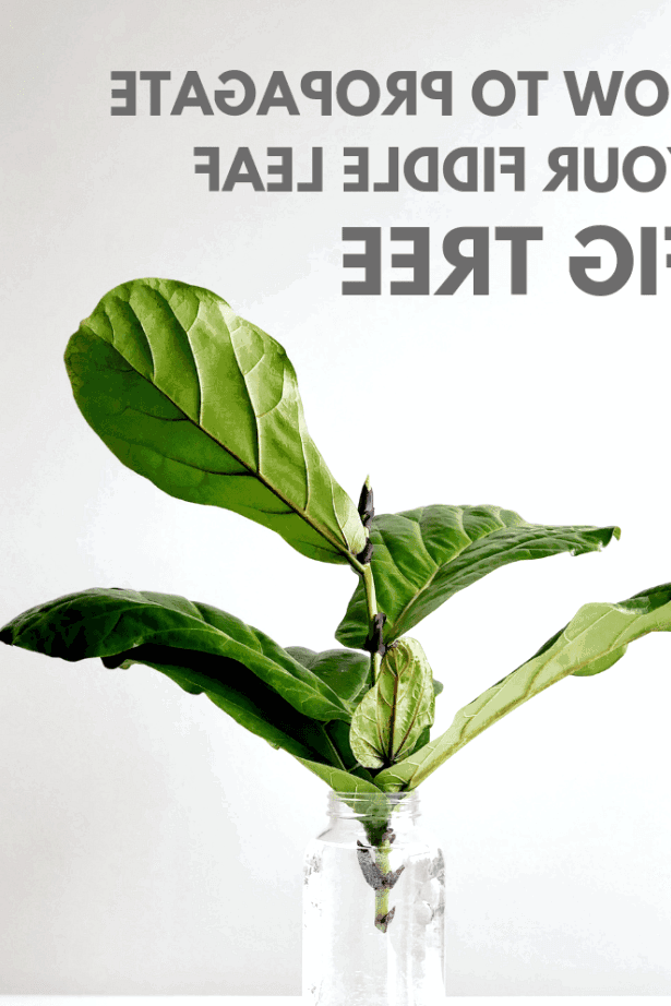 Learn how I propagated my fig tree four times.