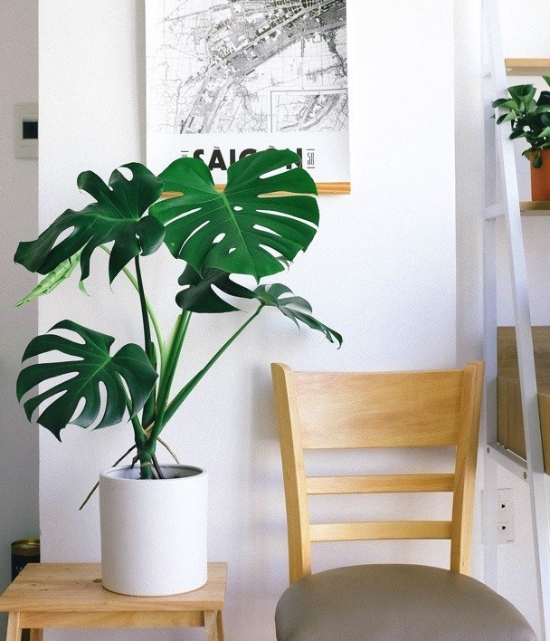 Swiss cheese plant is a great tropical variety houseplant for your home and is one of the best indoor plants you can have!