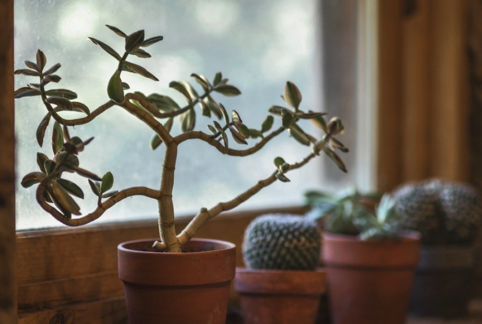 The jade plant is my favourite indoor succulent. This plant can actually grow quite large in the right environment.