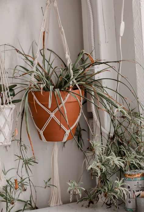 Spider plants are an ideal candidate for hanging in a window as they cascade downwards and enjoy full sun.