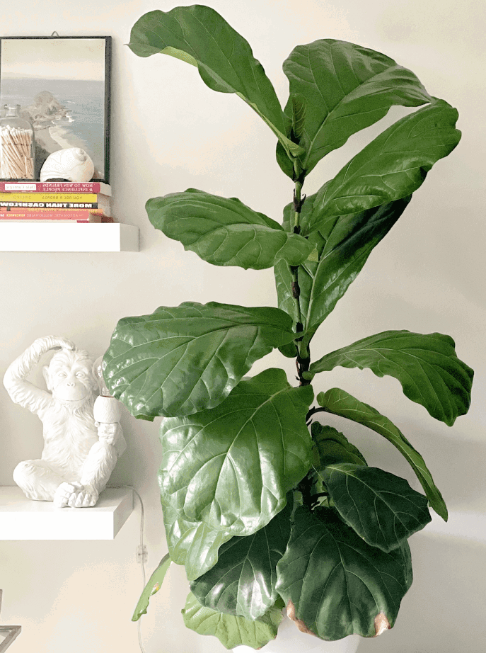 Fiddle leaf fig tree is one of the best indoor houseplants!